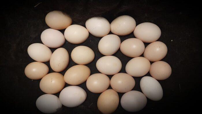 Meile saabunud munad on munetud 01.-02.05.2020